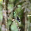 on of the Emerald hummingbirds?