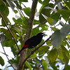 Passerini's Tanager (AKA red-rumped)