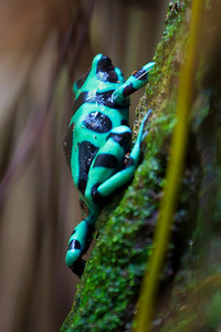Black & Green Poison Dart Frog, female