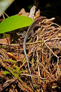 Un-ID'd Lizard