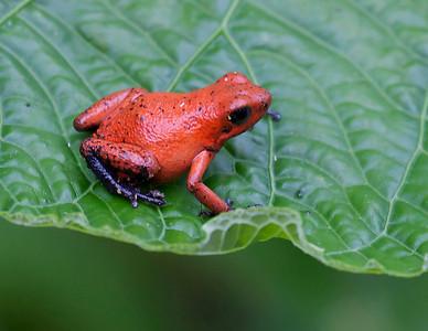 Bluejeans Frog