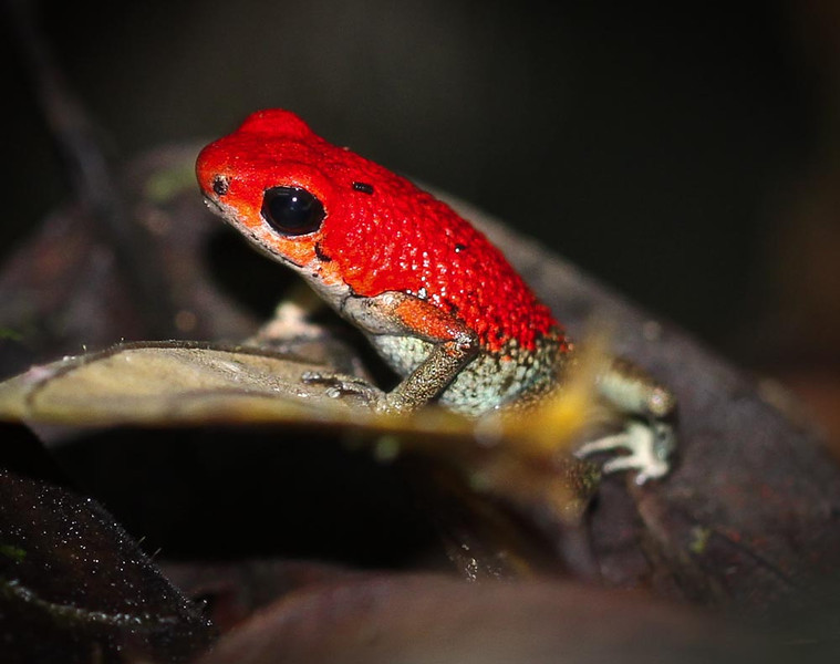 Poison Dart Frog.  They come in many different colors.