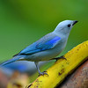 Blue-grey Tanager, Rancho Naturalista.