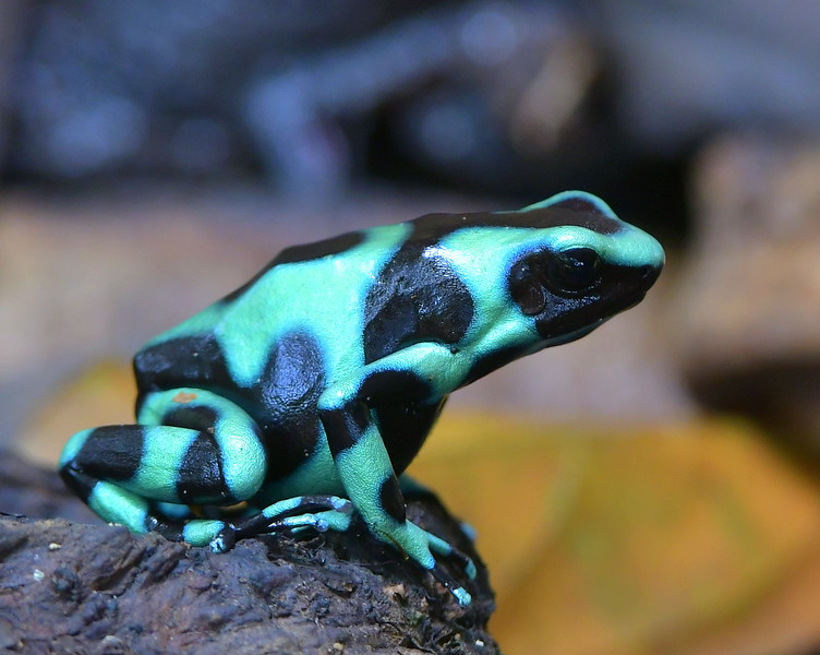 Green and black poison dart frog