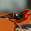 Flame-colored Tanager, male, Savegre Mountain Lodge