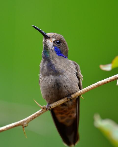 Brown Violet-ear Hummingbird