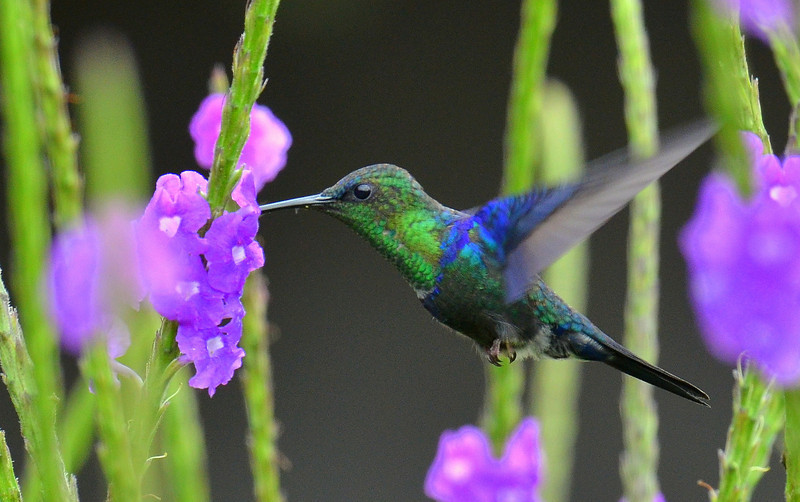 Violet-crowned Woodnymph, male, Rancho Naturalista.
