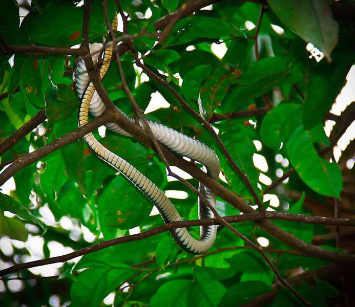 In a canoe paddling through the mangroves in Golfe Dulce.  Mussurana snake.  Diet consists of other snakes.