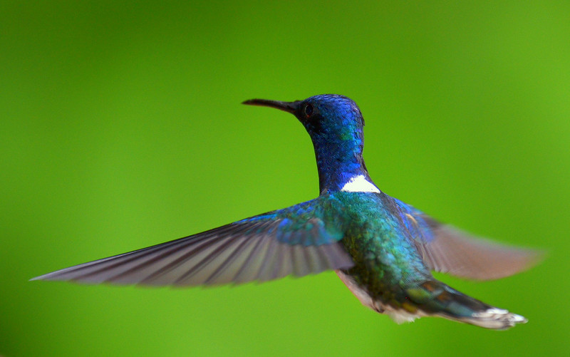 White-necked Jacobin, male, Rancho Naturalista.