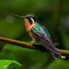 Purple-throated Mountain-gem Hummingbird