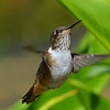 Volcano Hummingbird, female, Savegre Mountain Lodge