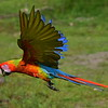 Hybrid, Green and Scarlet Macaws