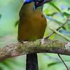 Blue Crown Mot Mot.  Osa Peninsula, Costa Rica.