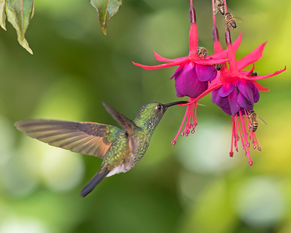 Green Crowned Brilliant Hummingbird