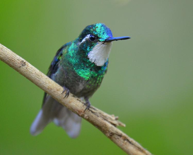 White-throated Mountain-gem Hummingbird