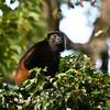 Howler Monkey (Gandoca Manzanillo).