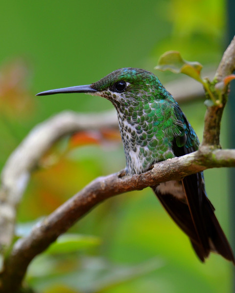 Green-crowned Brilliant, female, La Paz Waterfall Gardens.