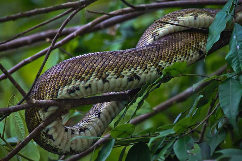 Tree Python (Golfe Dulce - Osa Peninsula).