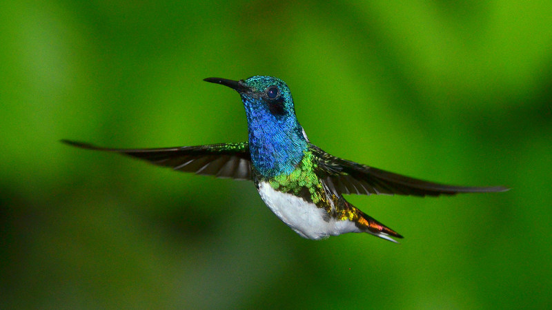 White-necked Jacobin, Rancho Naturalista.