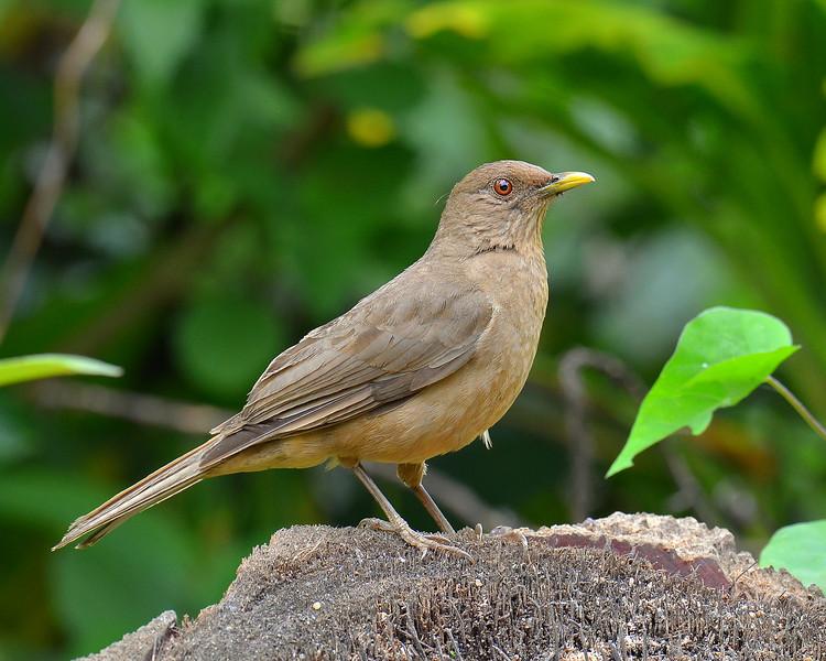 Clay-colored Robin, Rancho Naturalista