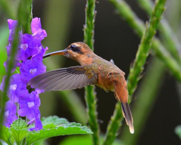Striped-throated Hermit Hummingbird