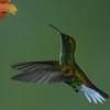 Coppery-headed Emerald Hummingbird