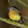 Tawny-chested Flycatcher, Rancho Naturalista