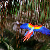 Scarlett Macaw in Flight (just down the road from Bosque del Cabo).