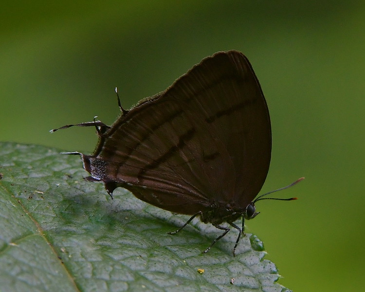 Lisus Hairstreak Butterfly