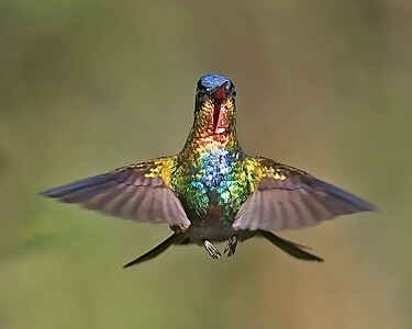 Firey Throated Hummingbird