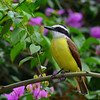 Great Kiskadee, Rancho Naturalista