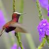 Snowcap Hummingbird