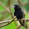 Black-bellied, La Paz Waterfall Gardens