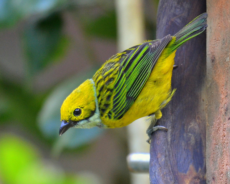 Silver-throated Tanager, Savegre Mountain Lodge.