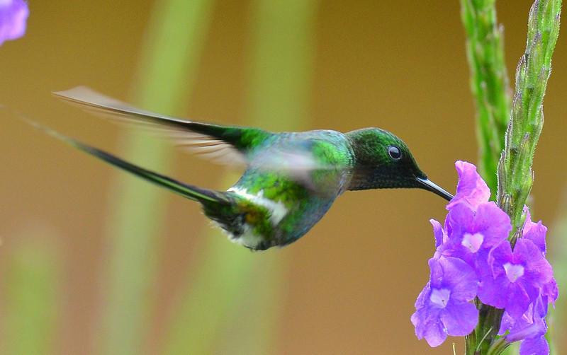 Green Thorntail, Rancho Naturalista.