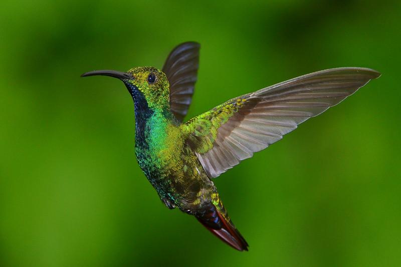 Green-brested Mango Hummingbird