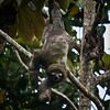 Sloth in tree in Gandoca Manzanillo