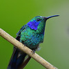 Green Violet-ear Hummingbird