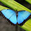 Blue-morph, La Paz