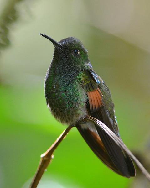 Striped-tailed Hummingbird