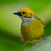 Silver-throated Tanager.