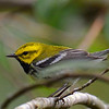 Black-throated Green Warbler, Savegre Mountain Lodge.