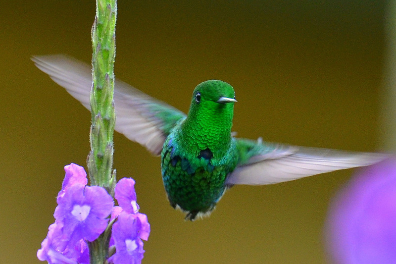 Green Thorntail, male, Rancho Naturalista.