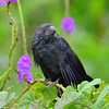 Groove-billed Ani, Rancho Naturalista.