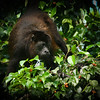 Howler Monkey (Gandoca Manzanillo--Carribean side).