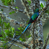 Resplendent Quetzal, Savegre Mountain Lodge.