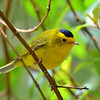 Wilson's Warbler, male, Savegre Mountain Lodge.