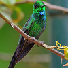 Green-crowned Brilliant, male, La Paz Waterfall Gardens.