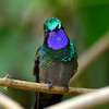 Purple-throated Mountain-gem Hummingbird