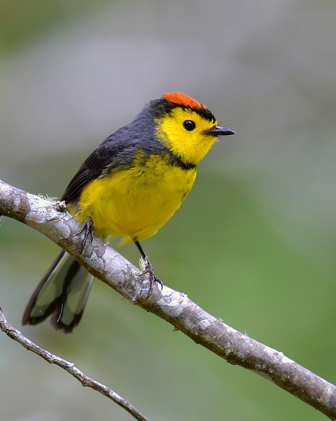 Collared Redstart, Savegre Mountain Lodge